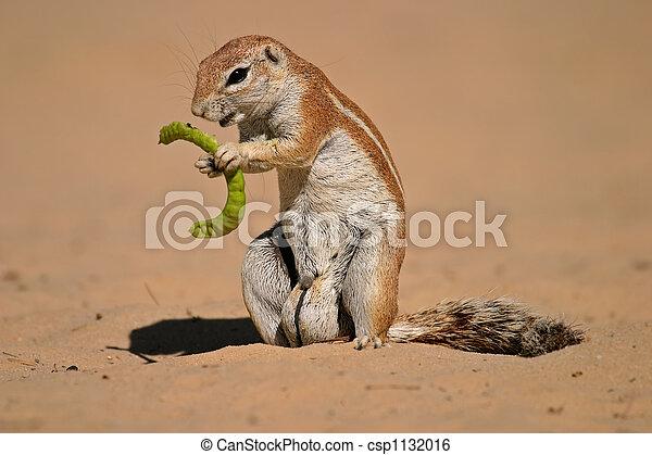 Ground squirrel - csp1132016
