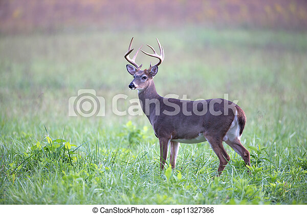 White-tailed deer buck in foggy meadow - csp11327366