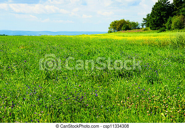 Alfalfa field in bloom - csp11334308