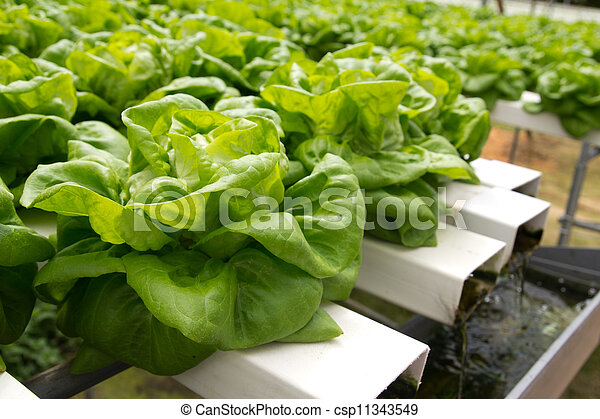 Hydroponic vegetable  - csp11343549