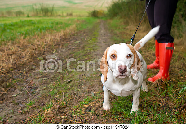 Beagle being walked on a lead in the field