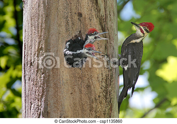 Hungry Baby Woodpeckers - csp1135860