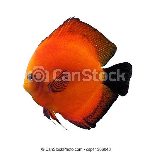 red discus fish - csp11366048