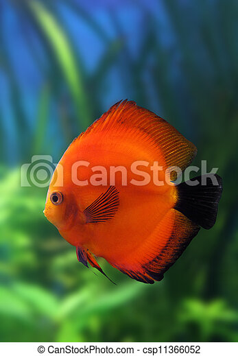 red discus fish in aquarium - csp11366052