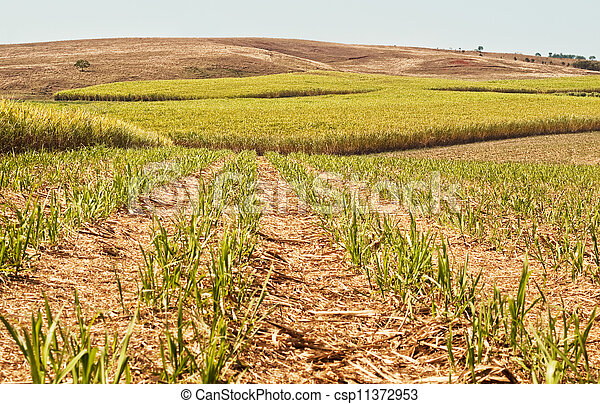 Australian agriculture farm industry sugar cane crop growing - csp11372953