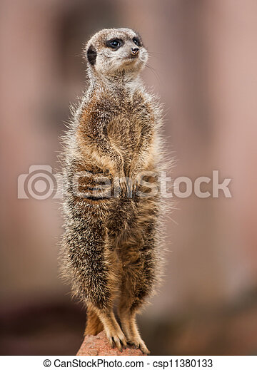 wachsam, africa:, tiere, erdmännchen - csp11380133