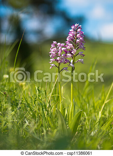 Military Orchid - csp11386061