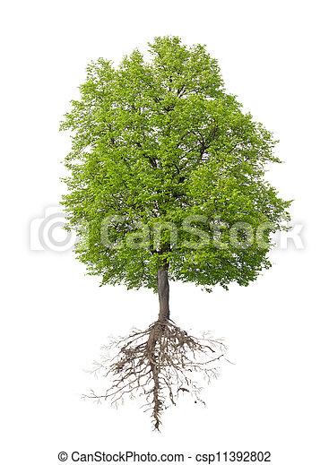 根, 樹 - csp11392802