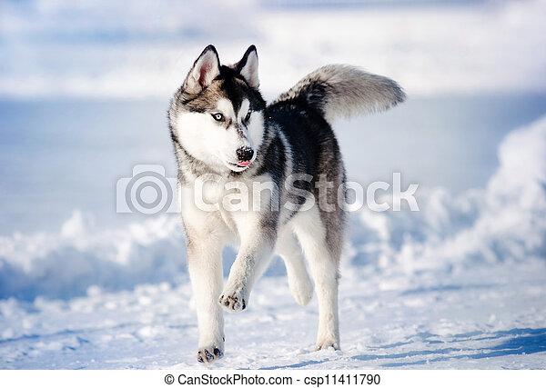 dog hasky running in winter - csp11411790