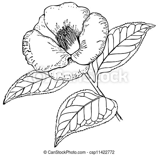 Camellia Illustration Vectors Illustration o...