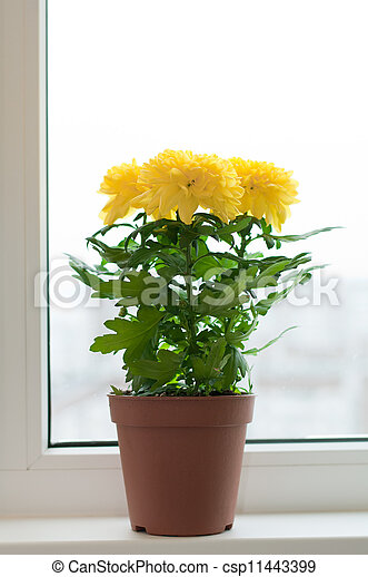 Yellow chrysanthemums on a window sill - csp11443399