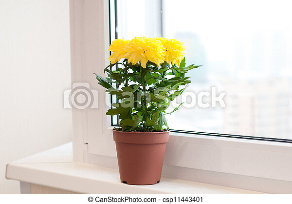 Yellow chrysanthemums on a window sill - csp11443401