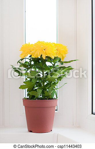 Yellow chrysanthemums on a window sill - csp11443403