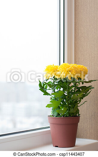 Yellow chrysanthemums on a window sill - csp11443407