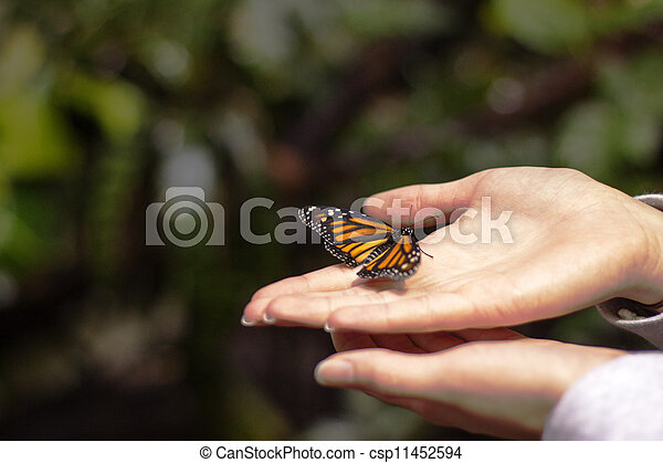monarch butterfly spreading wings in hand - csp11452594