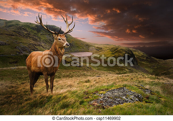Red deer stag in moody dramatic mountain sunset landscape - csp11469902