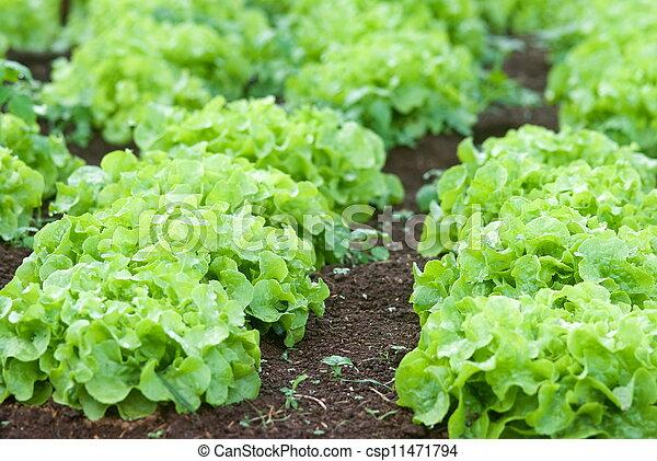 Agriculture of Iceberg Lettuce in organic farm in Thailand - csp11471794
