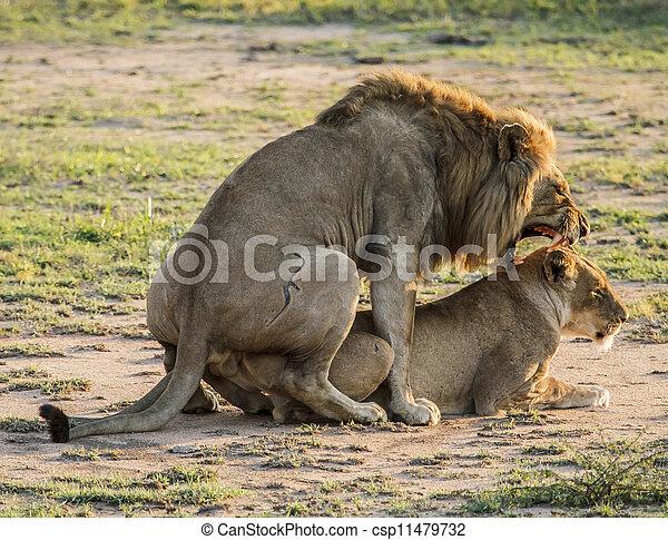 Photos de lion accouplement accouplement lions pris dans les csp11479732 recherchez - Leones apareamiento ...