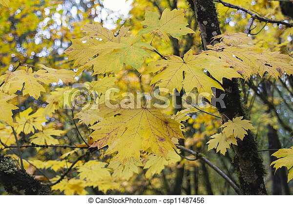 Giant Maple Tree Leaves in the Fall - csp11487456