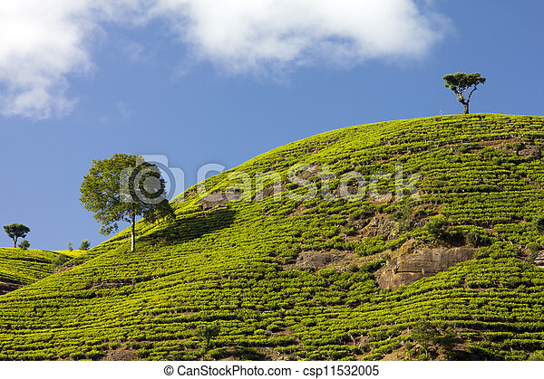 Sri Lanka tea garden mountains in nuwara eliya - csp11532005