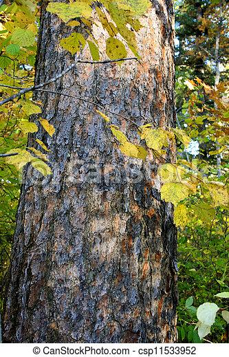 Cedro, corteza, árbol, dibujo - csp11533952