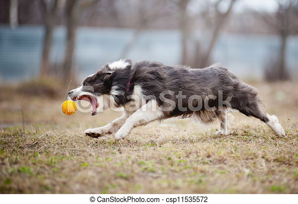 Blue Border Collie dog playing with a toy ball - csp11535572