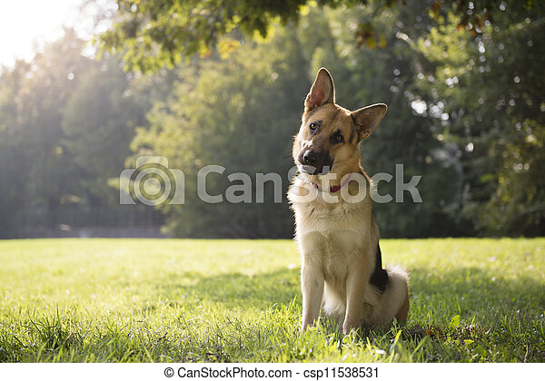 young purebred Alsatian dog in park - csp11538531
