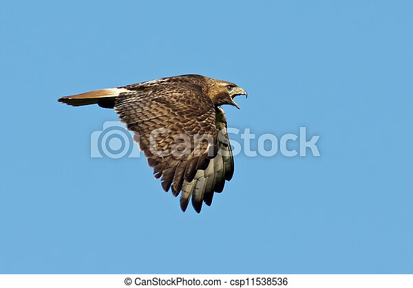 Red-tailed Hawk in Flight - csp11538536