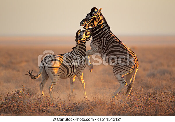 Fighting Zebras - csp11542121