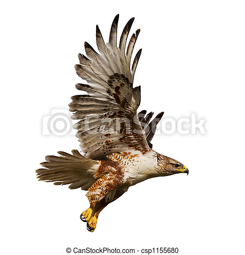 Isolated hawk in flight - csp1155680
