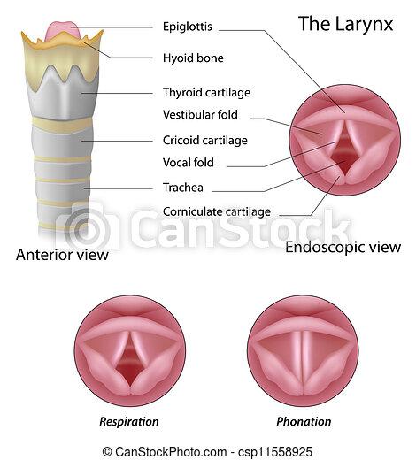 Anatomy of the larynx, eps8 - csp11558925