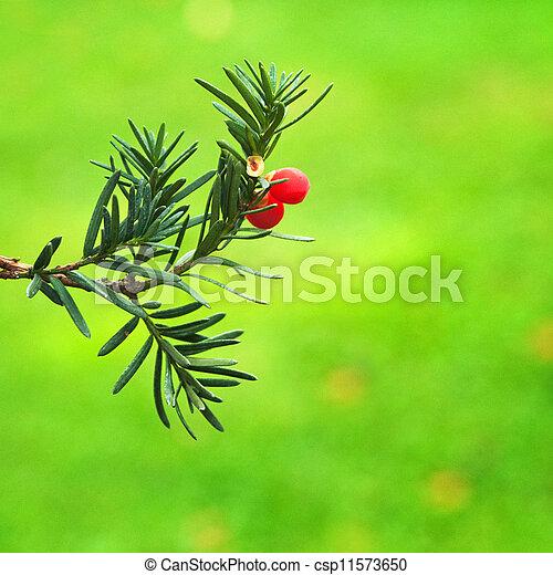 stock bilder von florida eibe weihnachten zweig von. Black Bedroom Furniture Sets. Home Design Ideas