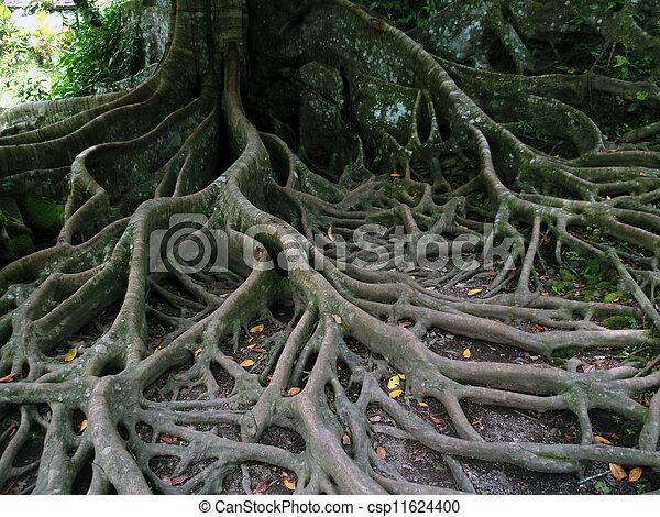Photographies de arbre r seau racines tr s compliqu - Arbre a faible racine ...