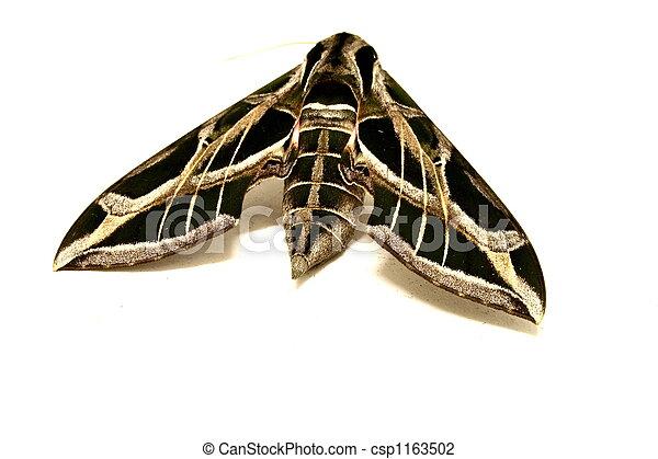 Moth Specimen - csp1163502
