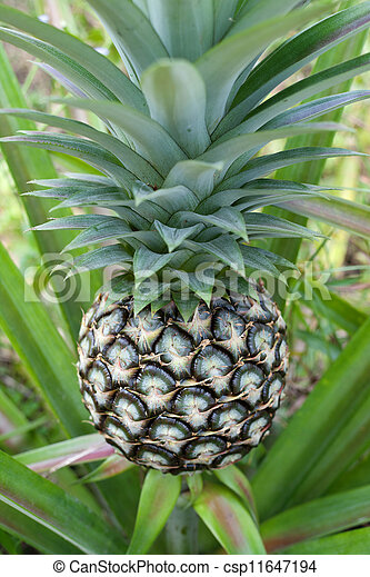 Pineapple plant - csp11647194