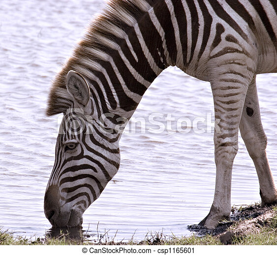 Zebra quenching its thirst - csp1165601