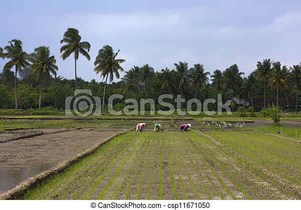 agriculture workers on rice field in bali - csp11671050