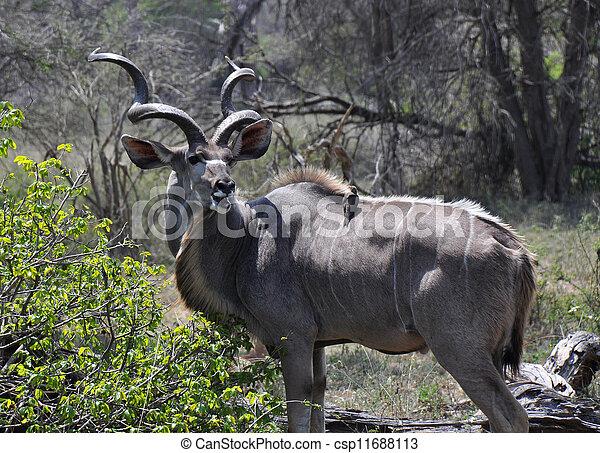 Kudu, 鳥, 伴隨 - csp11688113