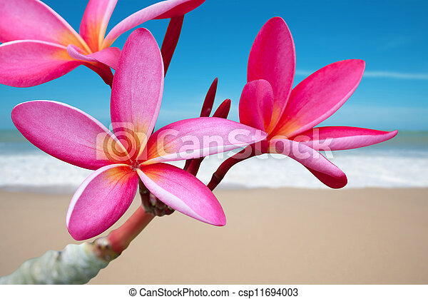 Plumeria flowers on the beach - csp11694003