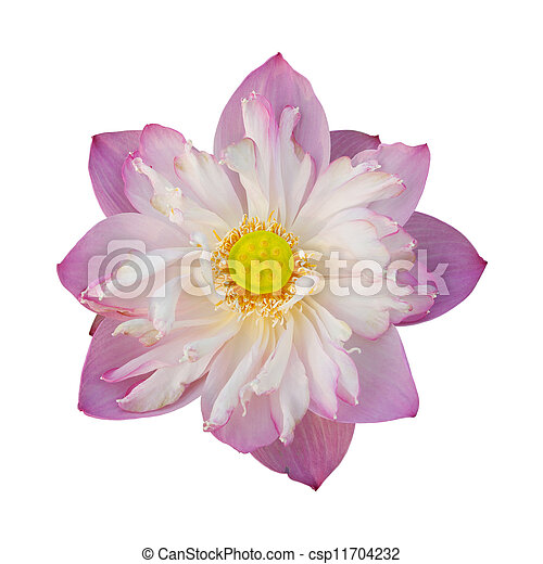 Water lily isolated on white background - csp11704232