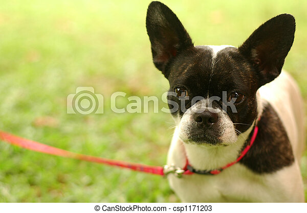 Boston Terrier On Leash - csp1171203