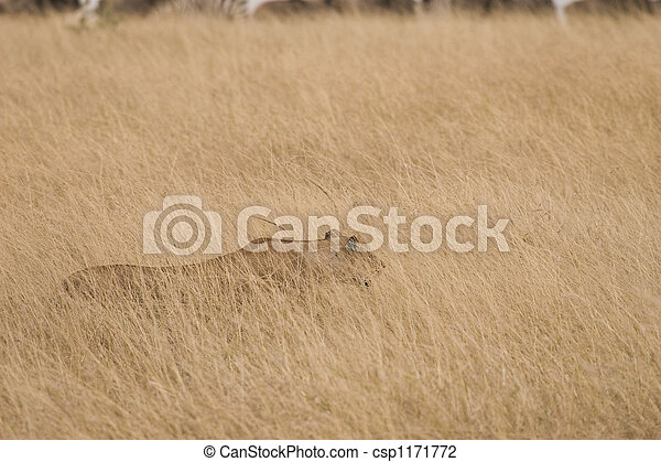 Lioness Hunting - csp1171772