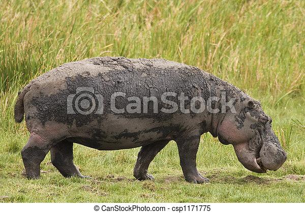 Hippo Grazing - csp1171775