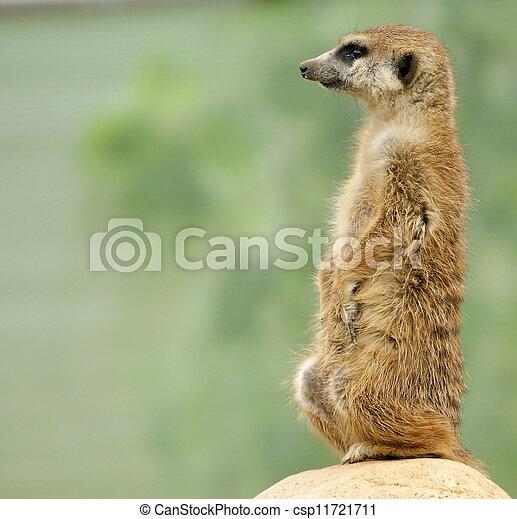 eller,  (suricata, familj,  zoo,  suricate, Moskva, medlem,  suricatta), däggdjur, mungo, liten, ryssland,  Meerkat - csp11721711