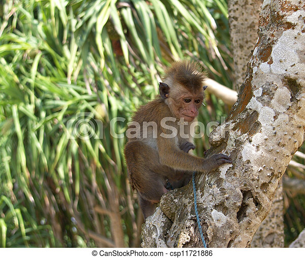 Island Sri Lanka (Ceylon), small fashionable monkey .