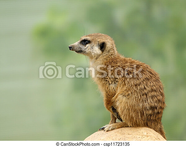 The meerkat or suricate (Suricata, suricatta), a small mammal, is a member of the mongoose family. Zoo, Moscow, Russia - csp11723135