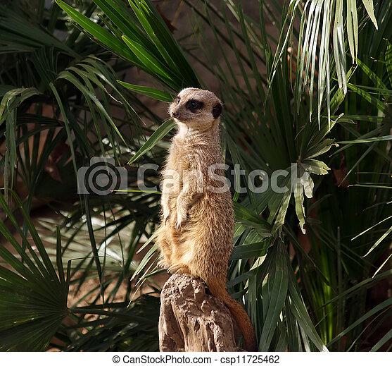 The meerkat or suricate (Suricata, suricatta), a small mammal, is a member of the mongoose family - csp11725462