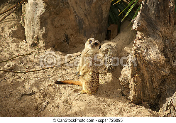 The meerkat or suricate (Suricata, suricatta), a small mammal, is a member of the mongoose family - csp11726895