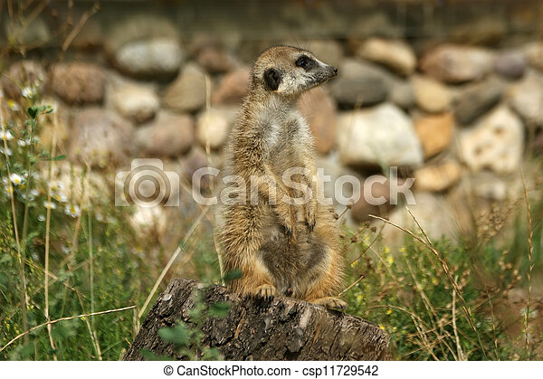 The meerkat or suricate (Suricata, suricatta), a small mammal, is a member of the mongoose family - csp11729542