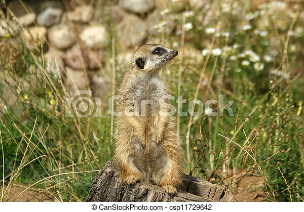 The meerkat or suricate (Suricata, suricatta), a small mammal, is a member of the mongoose family - csp11729642